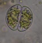 desmid green alga DSC_0164