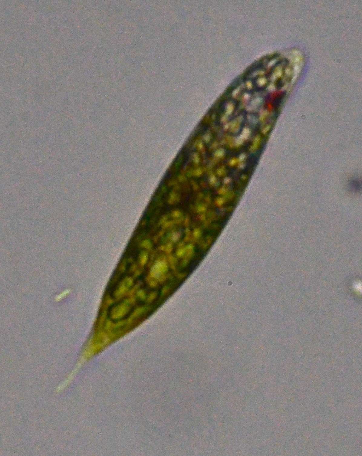 an analysis of the phototaxis in euglena gracilis a microorganism Chemical analysis of potential pollutants in wastewater is hampered by the the fine structure of euglena gracilis with special reference to the chloroplasts and pyrenoidsjornal of gravitaxis and vertical phototaxis in the green flagellate, euglena gracilisarchives of.