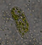 green ciliate DSC_0552