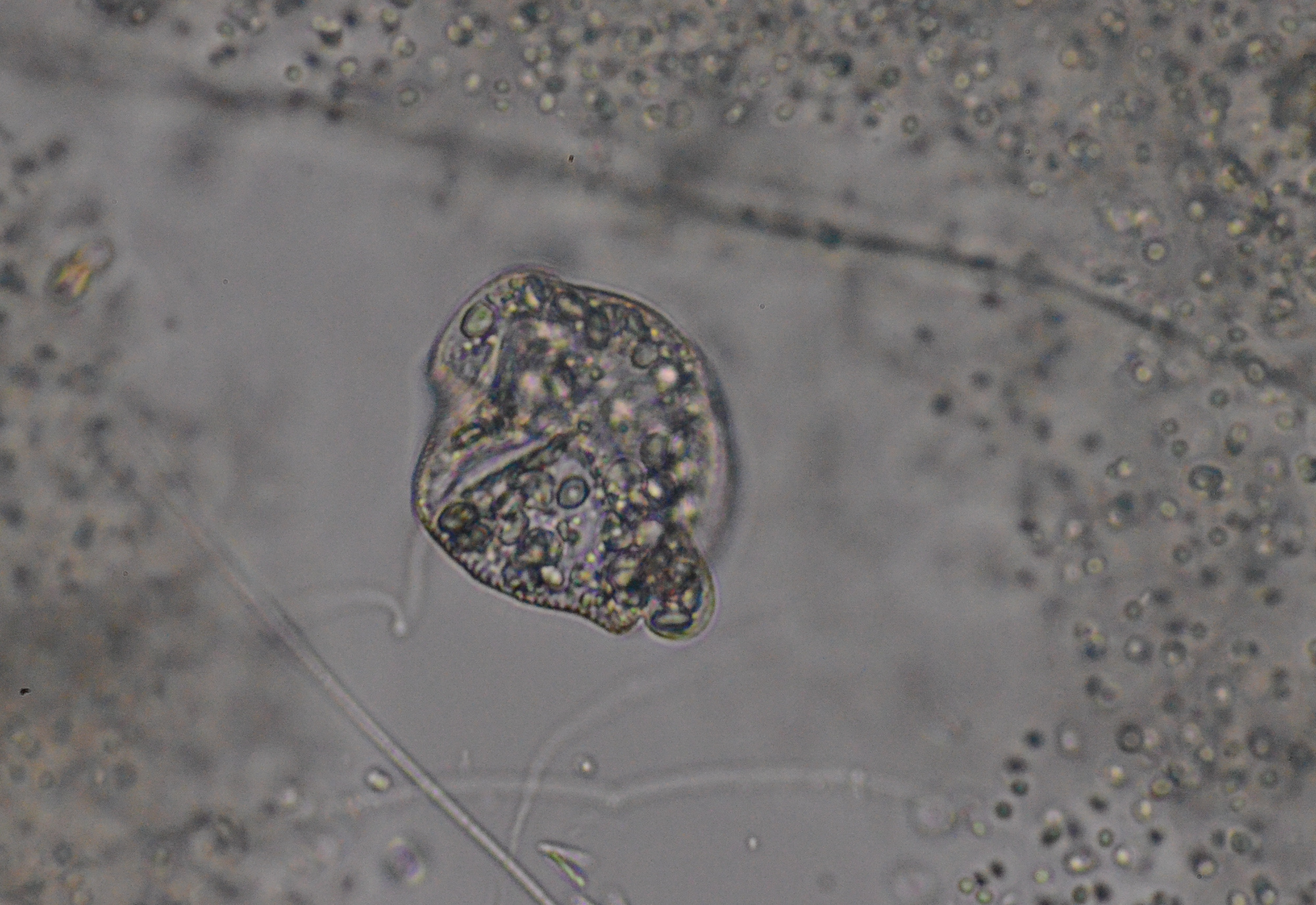 Other euglenids | Protists in Singapore