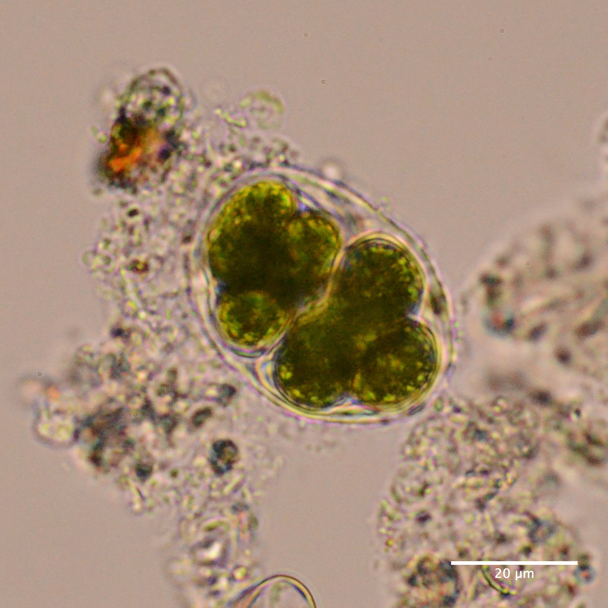 Green algae | Protists in Singapore
